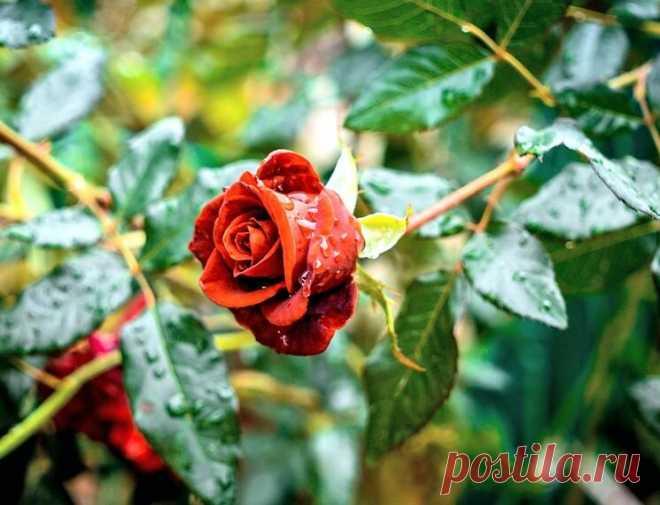 Какие розы нужно обрезать осенью, а какие не стоит трогать | посуДАЧИм об огороде | Яндекс Дзен
