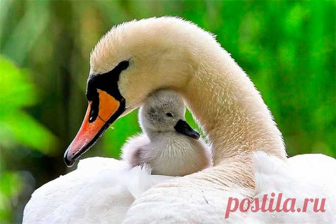 Maternal love and care in fauna (32 photos)