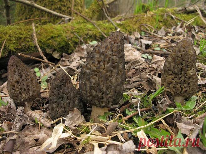Сморчков бояться - в лес не ходить! Как они выглядят и чем отличаются от строчков | грибной критик | Яндекс Дзен