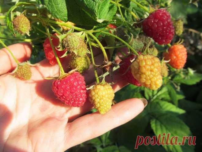Что сделать с малиной в августе-сентябре, чтобы на следующий год был отменный урожай | Секреты садоводства | Яндекс Дзен