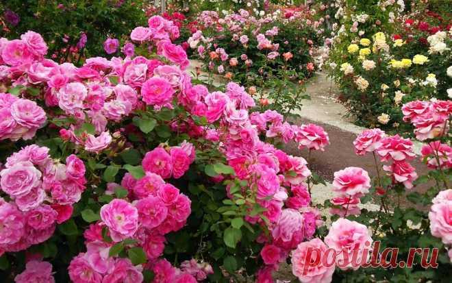 Чем подкормить розы весной для роста и пышного цветения