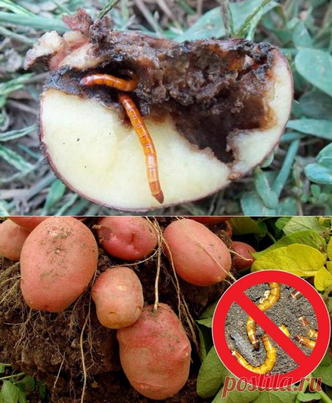 Мой опыт победы над жуком - пожирателем картофеля (проволочником) | Садовый рай 🌱 | Яндекс Дзен