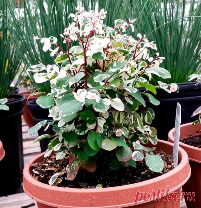 Комнатное растение Брейния (Breynia). Для отечественных любителей домашнего цветоводства это растение, напоминающее своим внешним видом экзотическую традесканцию, - относительно новое. Лучше всего выращивать его в теплицах, где брейния разрастается пышным кустом. В комнатных условиях размеры растения, как правило, гораздо более скромные. Обычно брейнию выращивают из-за ее красиво окрашенных листьев, используя для этого подвесные горки и кашпо.