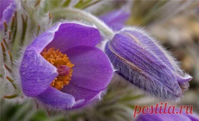 Такой загадочный цветок прострел сон трава