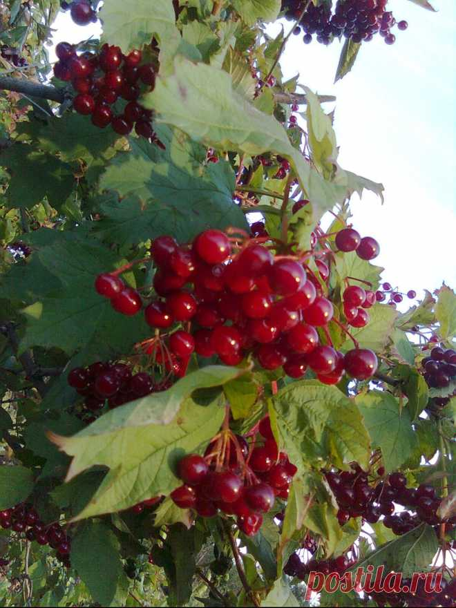 The guelder-rose is red! Beauty!