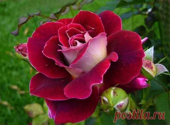 Выращиваем розу из cрезанного цветкa