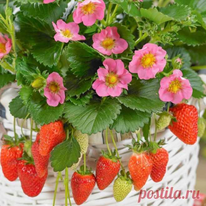 ТОП-7 самых сладких сортов клубники. Не ягоды, а чистый мед!