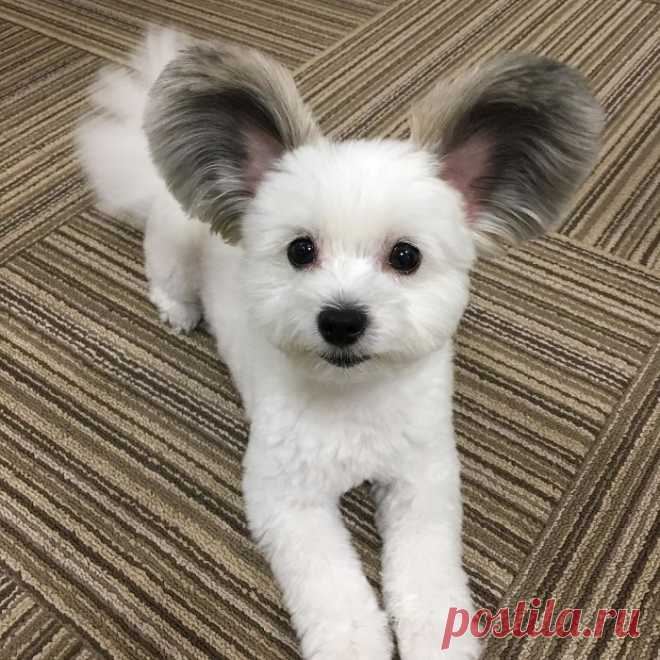 Этот щенок с ушами Микки Мауса очаровал интернет, а его фотографии сделают ваш день