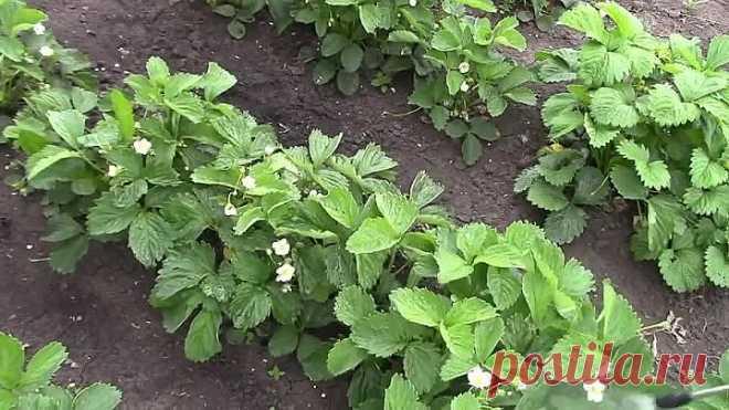 Борная кислота в саду. Опрыскиваем садовую землянику и томаты!