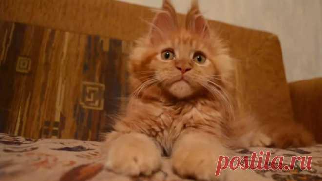 Котенок мейн - кун! Какая прелесть)))))