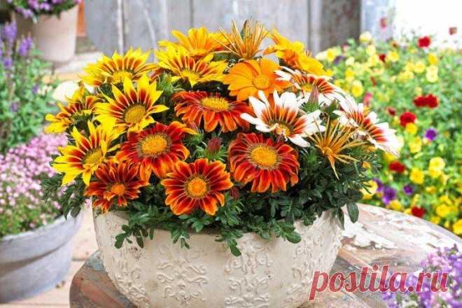 Гацания (60 фото) - виды, посадка и уход в открытом грунте Яркие цветки гацании напоминают полосатые разноцветные ромашки. Они изумительно смотрятся на клумбах и в букетах. А среди десятков сортов можно найти окрас на любой вкус. Больше фото гацании - в нашей галерее!