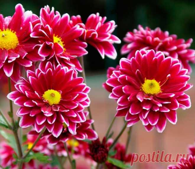 Хризантема садовая: посадка и уход в открытом грунте, выращивание из семян Травянистое однолетнее и многолетнее растение хризантема (Chrysanthemum) является представителем семейства Сложноцветные (Астровые). С греческого название растения переводится как «цветок-солнце» либо «златоцветный» дело в том, что у большинства видов соцветия окрашены в желтый цвет.