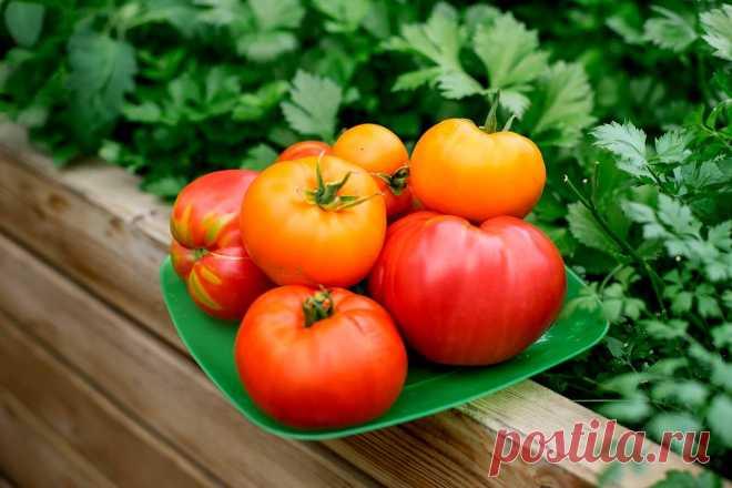 Мои секреты выращивания отличных томатов. Личный опыт. Фото — Ботаничка.ru