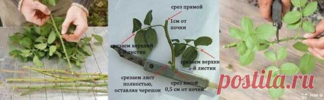 Черенкование роз (совет от Нины Соловьевой)