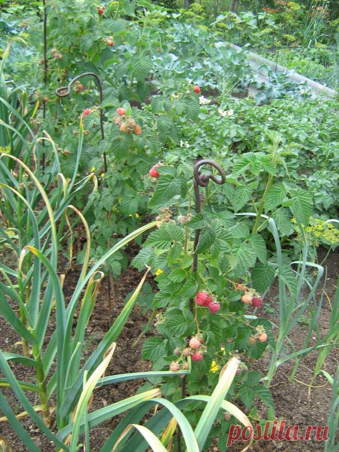 Опыт выращивания чеснока в саду — 6 соток