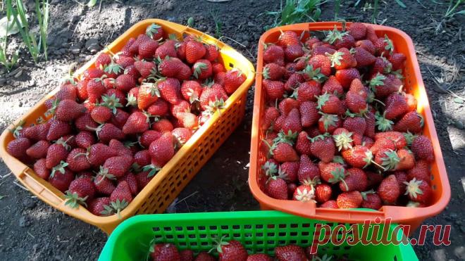Моя самая любимая подкормка для клубники, которая ежегодно приносит мне ведра любимой ягоды | Садовый огород | Яндекс Дзен