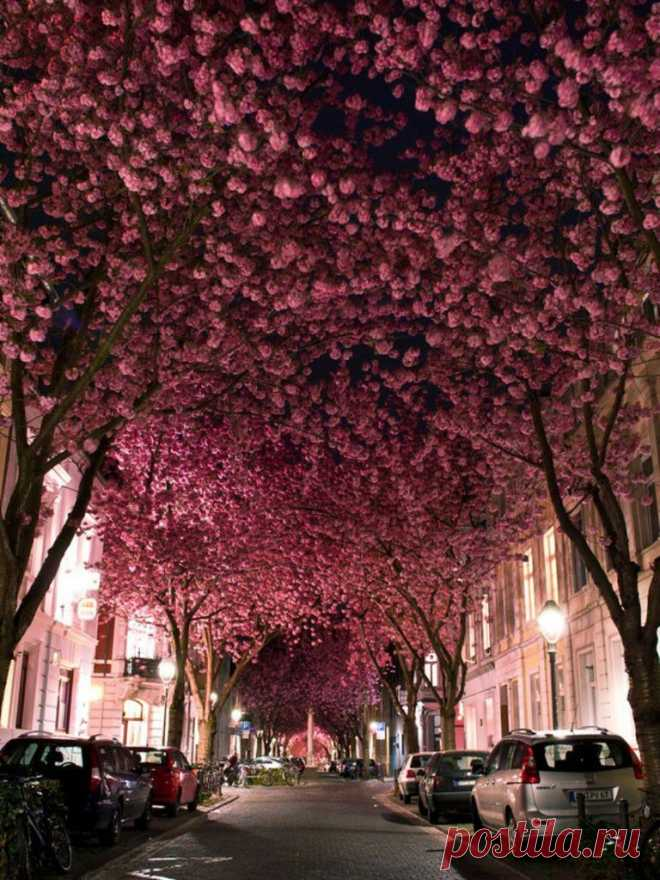 Захватывающие дух своей красотой вишнёвые аллеи - Путешествуем вместе
