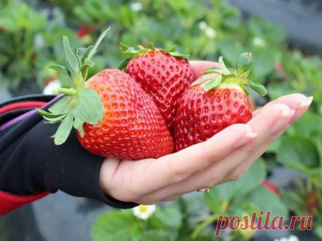 Расскажу, что я делаю с клубникой, чтобы на кусте была крупной не только первая ягода, но и все другие
