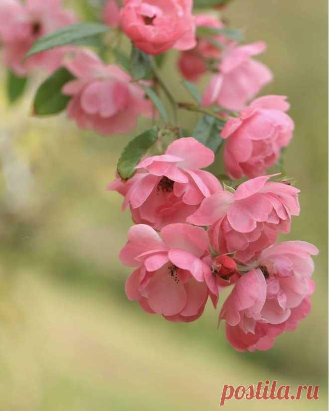 Роза -цветок любви нежности и совершенства!!! Сколько ни смотри получаешь поток блаженства! Твори иди лети и пой! ЦВЕТОК С ТОБОЙ! УЗНАЙ ПОТОК И БУДЬ СОБОЙ! НЕ СТОЙ А ПОЙ!!!!!