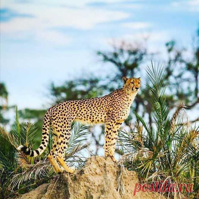 #Cheetah !   https://vk.com/najibalghaeth https://ok.ru/najibalghaeth