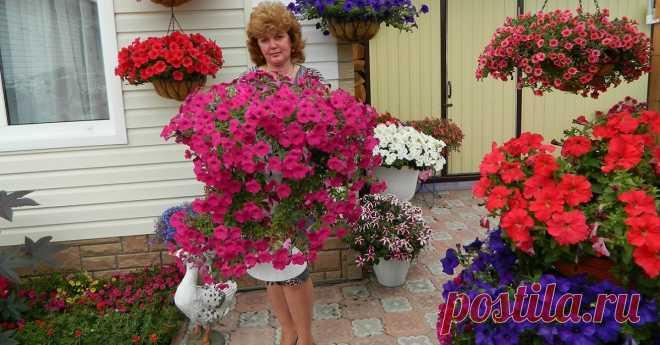 Три вида подкормки для домашних петуний. Буйное цветение гарантированно! Такая красота — глаз не отвести. - Советы и Рецепты