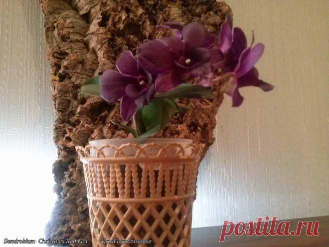 Орхидеи . Dendrobium  Christmas Red Mai