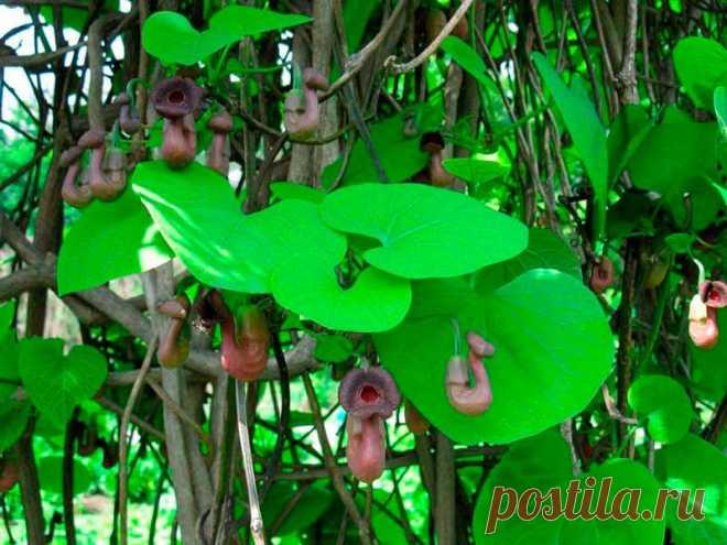 Лекарственное растение Кирказон ломоносовидный (Juglans regia). Многолетнее растение высотой 30-70 см. Стебель прямостоячий, иногда изогнутый, но не вьющийся и не ветвящийся. Листья округлые, у основания глубокосердцелистные, длинночерешковые, длина колеблется между 6 и 12 см. Серно-желтые цветки неправильно воронковидные; трубки цветков наверху расширяются в яйцевидный язычок, внизу - вздутые; во время цветения цветки стоят вертикально, затем поникают.