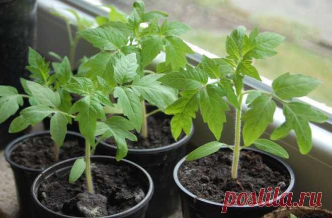 Что надо добавить в почву, высевая помидоры на рассаду 🚩 Сад и огородд