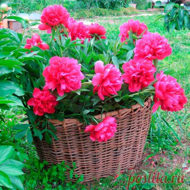 Многолетний садовый цветок Пион (Paeonia). Семейство: маковые (Paeoniaceae)  Многолетнее травянистое растение, реже полукустарник, высотой от 50 до 200 см. Листья темно-зеленые, рассеченные. Цветки крупные, разнообразной окраски, немахровые, полумахровые и махровые. Цветет в мае - июне .  Основные виды Родоначальником большинства садовых пионов является п.молочноцветковый (P.lactiflora) - многолетнее травянистое растение высотой до 100 см, листья темно-зеленые.