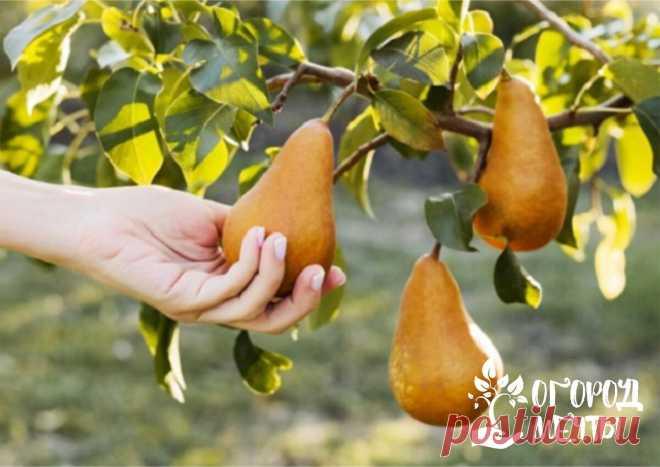 Хорошему урожаю быть! Календарь подкормок для груш и яблонь весна-лето | Огород Мечты | Яндекс Дзен