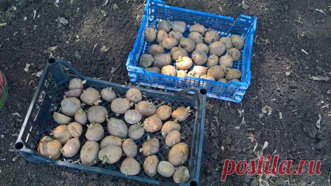Как я сажаю картошку на участке с проволочником | Садовичок | Яндекс Дзен