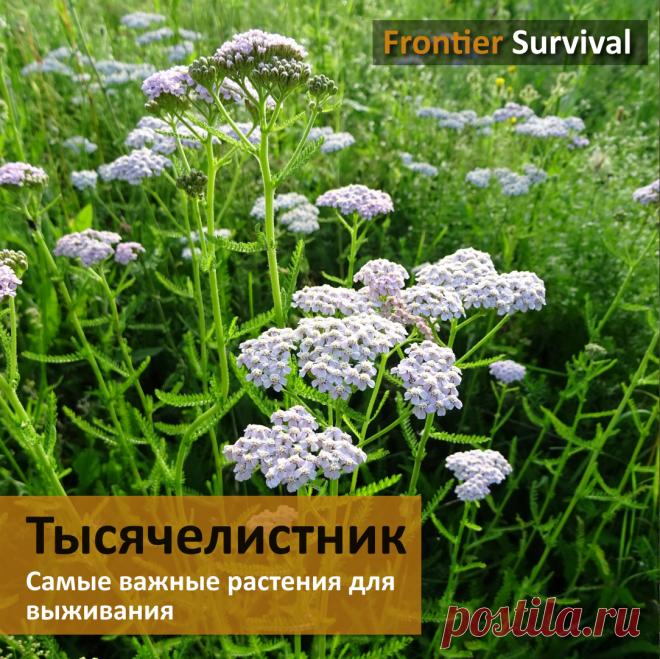 ☘️ Cамые важные растения для выживания. #1 Тысячелистник | Survival Channel | Яндекс Дзен