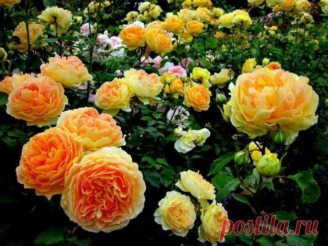 Какая подкормка нужна розам? | 6 соток