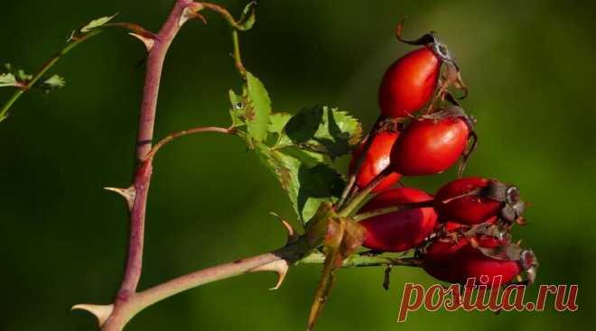 Шиповник: посадка и уход за растением | Сад и дача | Яндекс Дзен