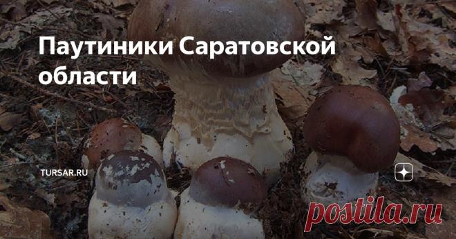 Паутиники Саратовской области Паутинник (лат. Cortinarius) приболотники, так как предпочитают  расти в очень влажных местах, часто рядом с болотами. Большая часть их  представителей несъедобна, а некоторые вообще смертельно ядовиты, но  некоторые виды съедобных паутиников , знатоки даже приравнивают по пищевой ценности к белым грибам. Среди видов паутинников много вкусных съедобных грибов  с приятным вкусом и удивительным