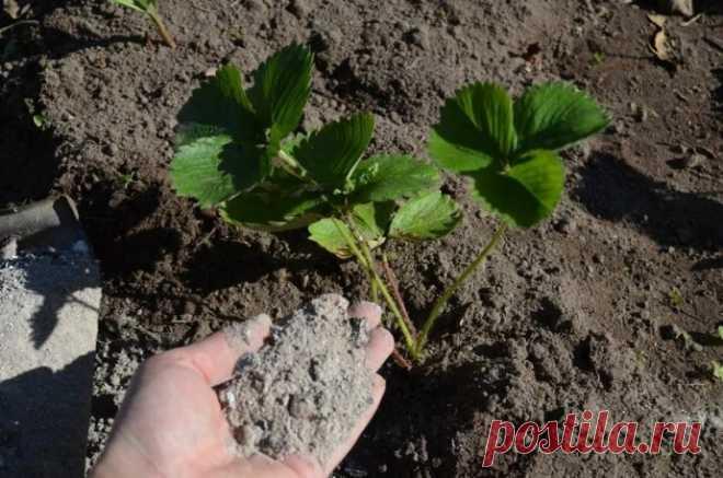 9 растений на даче, которые любят золу