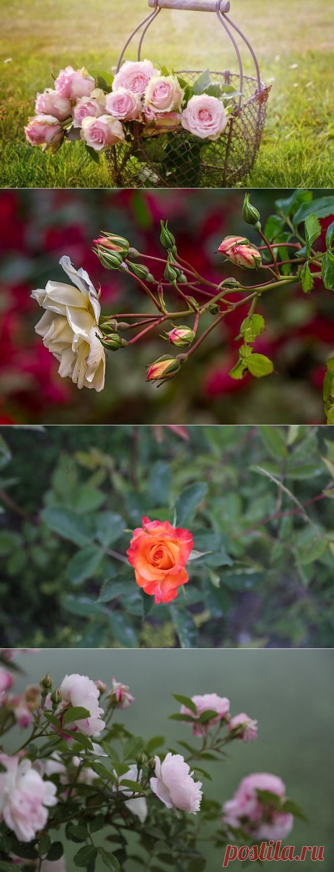 Какие цветы посадить на даче? Розы | Растения