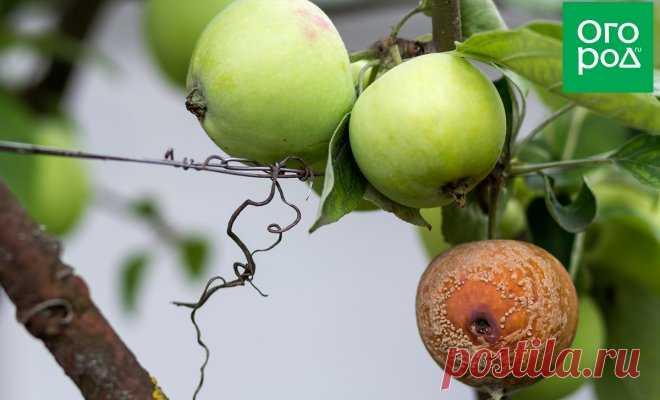 Яблоки гниют прямо на дереве – в чем причина, и что нужно делать - Образованная Сова