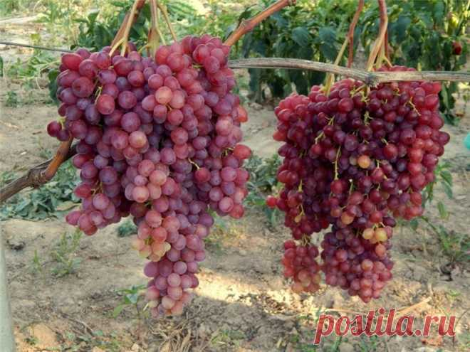 виноград браза сорта фото отзывы мужчина пишет