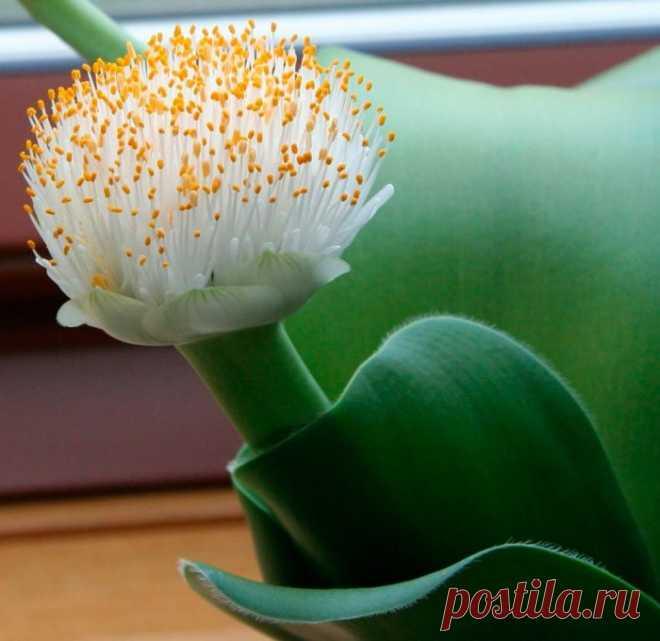 Гемантус: уход в домашних условиях, пересадка и размножение