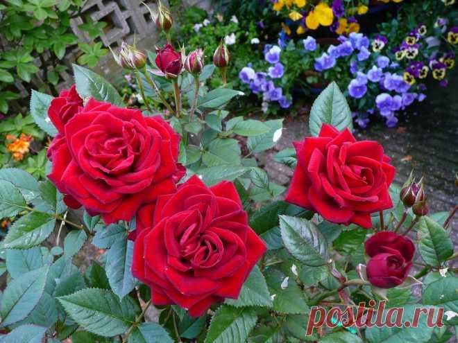 Июнь - время особого ухода за розами. Делаю так и моей клумбе завидуют соседки   ДАЧКОМ: Дачный Комиссар   Яндекс Дзен