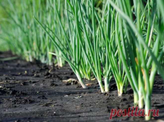 Почему желтеет лук 🚩 Сад и огородд