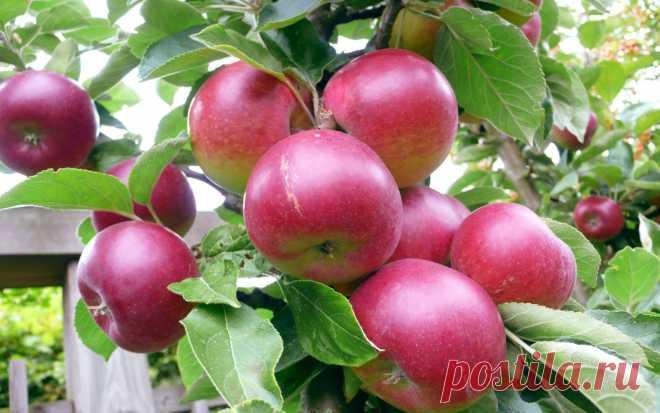 Календарь ухода за яблоней по месяцам  Яблоня, пожалуй, самая распространенная плодовая культура. Буквально в каждом дворе растет одна или пара яблонь. Так и живут они сами по себе, дают урожай, и садовод порой всем оказывается доволен, к…