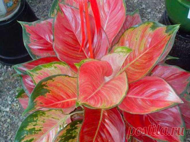 Аглаонема: уход в домашних условиях, фото Родиной аглаонемы считается Индия, однако, растение успешно выращивается и в нашей стране. Аглаонема представляет собой вечнозеленое растение с крупными зелеными листьями. Внешне аглаонема напоминает ...