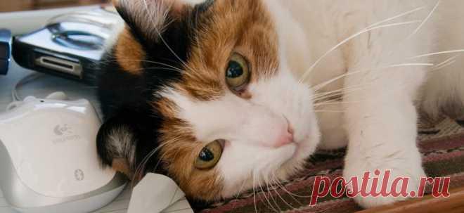 Почему кошка мурлыкает?   PetTips