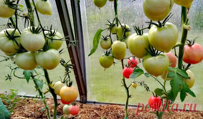 Уплотненные посадки томатов по два растения в одну лунку: подвели итоги и сделали выводы | Пара садоводов | Яндекс Дзен