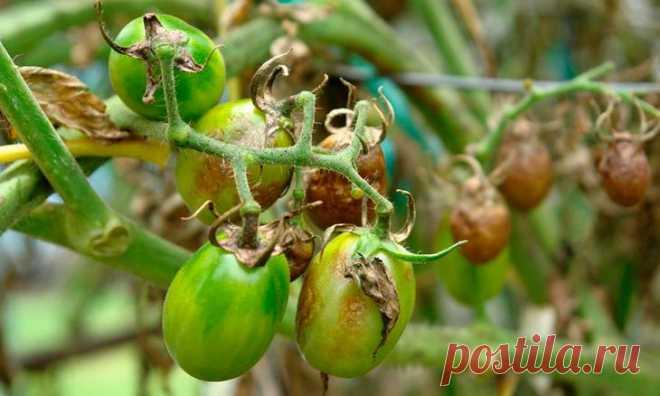 Фитофтора на помидорах: профилактика и лечение фитофтороза Фитофтора — простейший гриб, который быстро размножается. Мощное растение может высохнуть, а плоды — почернеть всего за одну ночь. Она обитает на семенном материале, остатках растений, огородных инстр...