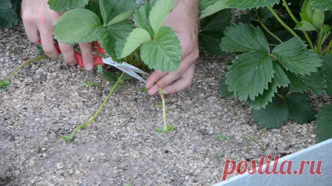 Как правильно размножать клубнику с помощью усов? Видео — Ботаничка.ru