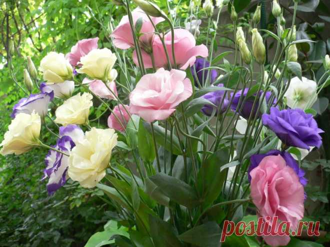 Эустома (100 Фото) - Посадка, Уход, Выращивание, Болезни +Отзывы Эустома посадка и уход в открытом грунте. В последние годы набрала огромную популярность. В период с августа по сентябрь она затмевает саму королеву садов – розу (Фото & Видео) +Отзывы