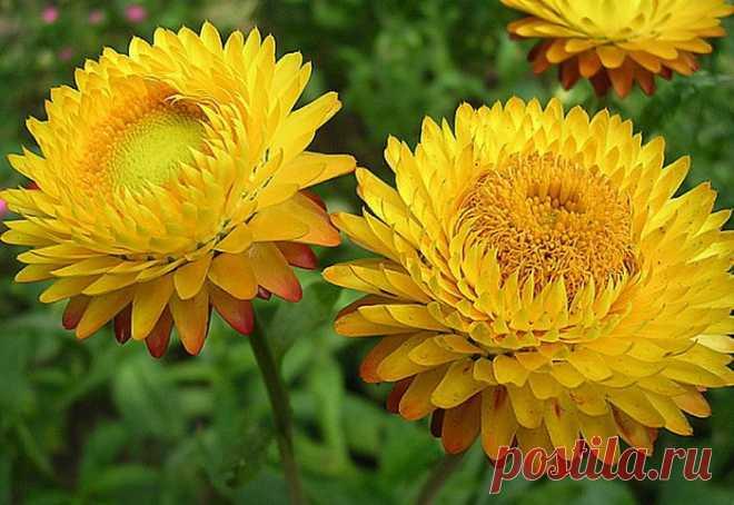 Слово «бессмертник» как название растения и его цветка известно в русском языке с XIX в. Список полезных веществ, входящих в бессмертник, и недугов, справиться с которыми он помогает, кажется бесконечным.